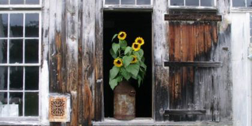Barn Sunflowers - Landmark Trust USA - Dummerston, VT