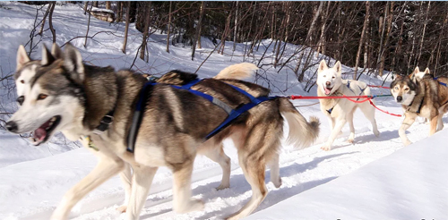 peace pups sled dogs